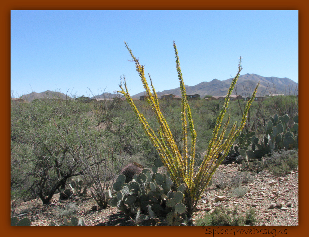 Ocotillo in Fall Colors