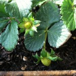 baby strawberries