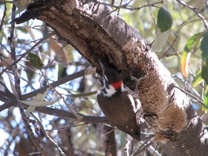 Arizona Woodpecker eating