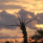 Ocotillo Sunrise
